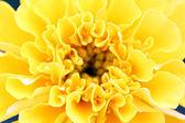 黄色的花,在一个宏. — 图库照片
