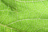 Texture of green leaf. — Stock Photo