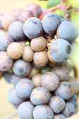 Grapes for the Productivity of wine. — Foto de Stock