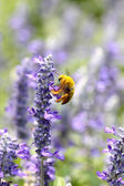 Lavender flowers blooming in garden and the wasp collect nectar. — Foto Stock