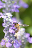 Lavender flowers blooming in the garden and the bees collect nec — Foto Stock