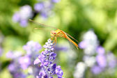 Yellow dragonfly on lavender flower. — Foto Stock