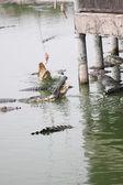 Feeding the crocodiles. — Stock Photo