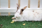 White rabbit's fur fluffy on lawn. — Stock Photo