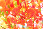 Flame Tree Flower. — Foto de Stock