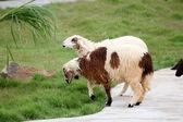 Sheep in the farm. — Stock Photo
