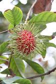 Fresh rambutan on tree. — Stock Photo