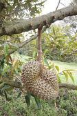 Fresh durian fruit on trees. — Stockfoto