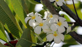 White plumeria on tree. — Stock Photo