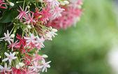 Drunen sailor or rangoon creeper flower. — Stock Photo