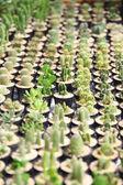 Muchos árboles de cactus. — Foto de Stock