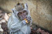 Monkey and food — Stockfoto