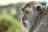 Retrato de mono — Foto de Stock
