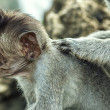 Portrait of the monkey in the Uluwatu — Stock Photo