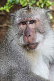Portrait of the monkey in the Uluwatu — 图库照片