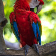 Red and blue parrot sitting on a tree branch — Stock Photo #24224059