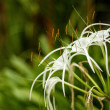 White Crinum flower in the blurry background in high resolution - Stock Photo
