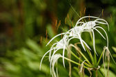 White Crinum flower in the blurry background in high resolution — Stock Photo