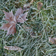 Maple leaf in morning frost — Stock Photo