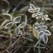 Stockfoto: Rime covered leafs
