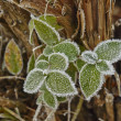 Stock Photo: Rime covered leafs