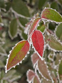 Rime covered leafs — Stock Photo