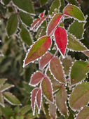 Rime covered leafs — Foto Stock