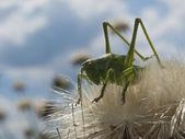 Green grasshopper — Stock Photo