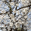 FLOWERING IS APRICOT — Stock fotografie