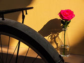 Rose light and shadow — Stock Photo