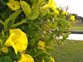 Trumpet flower — Stock Photo