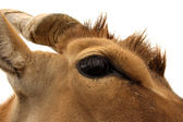 Eland Eye — Stock Photo