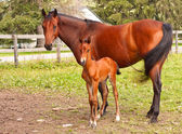 Mother Horse and Foal — Stock Photo