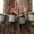 Old Fashioned Maple Sap Buckets — Stock Photo