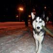 Постер, плакат: Dexter happy husky