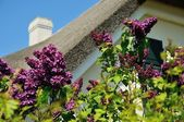 Thatched roof house with lilac — Foto Stock