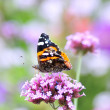 Butterfly on flower blooms — Stock Photo #31059333