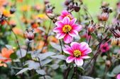 Dahlia flowers with many buds in the background — Stock Photo