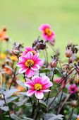 Pink dahlia flowers and many buds in the background — Stock Photo