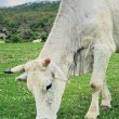 White Cow — Stock Photo #22909606
