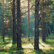 Sunbeam in coniferous forest — Stock Photo