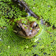 Frog in swamp — Stock Photo