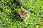 Frog in swamp — Stock Photo