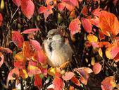Portrait of Mr. Sparrow — Stock Photo