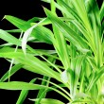 Yucca Plant — Stock Photo #23520395