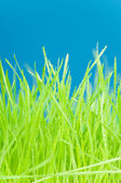 Fresh green grass with water drops on blue background — Stock Photo