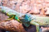 Color lizard — Stock Photo