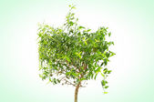 Weeping Fig (Ficus Benjamina) — Stock Photo