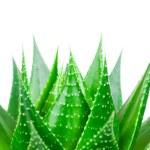 Aloe leave isolated on white background — Stock Photo #23694333