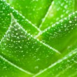 Aloe with water drops.Macro — Stock Photo